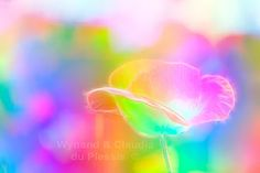Poppy flower with neon colours - flora054