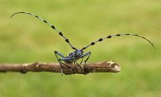 Longhorn beetles are named for their extremely long antennae, which are reminiscent of the massive horns of longhorn cattle. Of 26,000 species of longhorn beetles, the rare titan beetle is considered the largest insect in the world, generally.