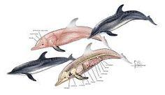 dolphin anatomy - Szukaj w Google