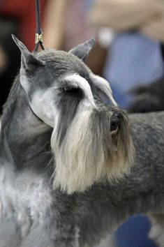 schnauzer grooming face - perfect!!!