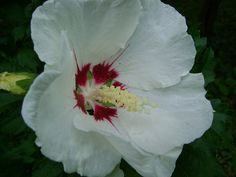 Hibiscus syriacus Red Heart DSC03232
