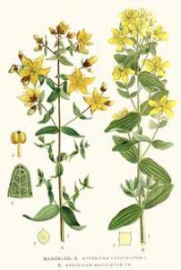 St. John's Wort Herb Uses, Side Effects and Benefits