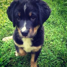 Sweetest puppy ever, James. #bernese #lab