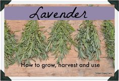 When you finally end up with a good supply of lavender from your garden, what can you do with it? How to harvest, dry and use lavender around the home