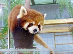 のいち動物園 カイ(雌)  Red pandas レッサーパンダ 小熊猫