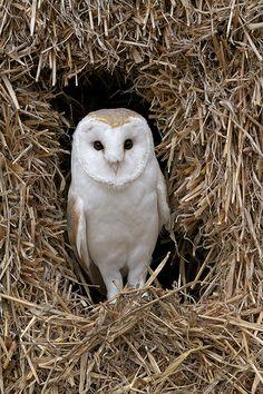 Tyto alba - Barn Owl
