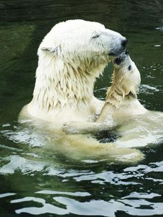 Bath time for Polar bears. Mama bear is enjoying baby bear's kisses. Animals And Pets, Baby Animals, Cute Animals, Mundo Animal, My Animal, Beautiful Creatures, Animals Beautiful, All Gods Creatures, Pet Birds
