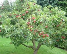 How to Grow Honeycrisp Apple Trees. So excited for our tree to start producing fruit in a few years!!!!