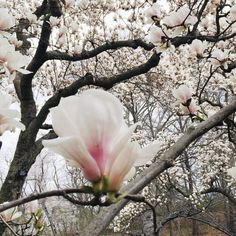 Magnolia way at the New York botanic garden nybg