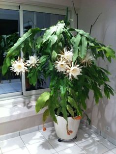 Epiphyllum oxypetalum is an erect or semi-erect, branching, epiphytic cactus up to 20 feet m) tall . Night Blooming Flowers, Night Flowers, Cacti And Succulents, Planting Succulents, Planting Flowers, Indoor Cactus Plants, Garden Plants, Balcony Garden, Orchid Cactus