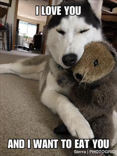 Husky Humor, Funny Husky Meme, Dog Quotes Funny, Dog Memes, Funny Dogs, Cute Dog Pictures, Funny Animal Pictures, Cute Funny Animals, Siberian Husky Puppies
