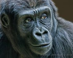 Portrait of a Gorilla at the Woodland Park Zoo