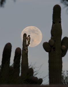 .Full Moon Rises behind a Red Tail Hawk Phoenix, AZ