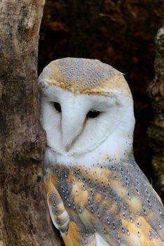A barn owl can eat up to mice each year, and many farmers try to attract barn owls to help control rodent populations in agricultural fields. South Sound Critter Care has rescued many of these owls. Beautiful Owl, Animals Beautiful, Cute Animals, Owl Photos, Owl Pictures, Rapace Diurne, Owl Always Love You, Wise Owl, Owl Bird