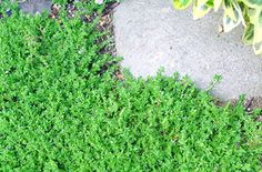 Sedum requieni  Miniature Stonecrop  cropIndestructible, low maintenance plant with tiny green leaves that form a tight evergreen mat. Foliage will turn red with heat or cold. Perfect for dry paths, gravel walkways, around shrubs and roses. Minuscule yellow stars appear in summer. Sharp drainage is a must. Over watering will impair growth. Very drought tolerant.  DROUGHT TOLERANT  DOG TRAFFIC YES
