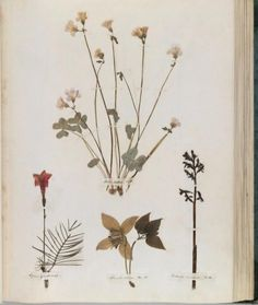 """xshayarsha: """" Emily Dickinson's Herbarium. """" Dickinson's favorite flowers include the gentian, the crown imperial, the geranium, the rose, and the Indian pipes that her friend Mabel Todd painted to. Emily Dickinson, Botanical Drawings, Botanical Prints, Impressions Botaniques, Illustration Botanique, Pressed Flower Art, Nature Journal, Art Floral, Dried Flowers"""