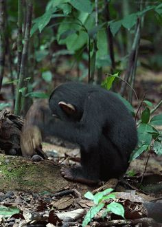 A young chimpanzee tries to crack a nut