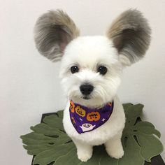 Puppy with adorable Mickey Mouse ears takes the internet by storm Funny Animal Memes, Funny Dogs, Funny Animals, Cute Animals, Funniest Animals, Animals And Pets, Baby Animals, Cute Fluffy Puppies, Pet Dogs