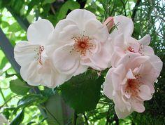 Klätterrosen Rosa 'Bolero' blir 2-3 m hög och blommar från och till nästan hela sommaren. Svag doft kanske man kan leva med när de stora blommorna (8-10cm) är så här vackra? Klarar sig upp till zon 3, blir mer som en buskros vid kallare klimat.