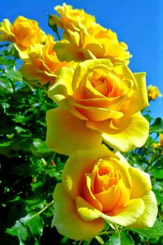 The Yellow Rose of Texas. Yellow Roses are all about platonic love and friendship. Often sent as a get well gift, yellow roses also represent happiness, delight, and new beginnings. Flowers For You, Amazing Flowers, Beautiful Roses, Pretty Flowers, Beautiful Gardens, Exotic Flowers, Rosa Rose, Mellow Yellow, Color Yellow