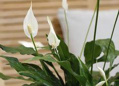 Miért nem virágzik a vitorlavirág? Peace Lily, Gardening, Plant, Lawn And Garden, Horticulture