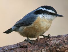 With its quite calls and dense coniferous forest habitat, the Red-breasted…
