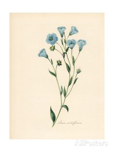 Common Flax or Linseed, Linum Usitatissimum by M.A. Burnett - vintage illustration, blue flowers