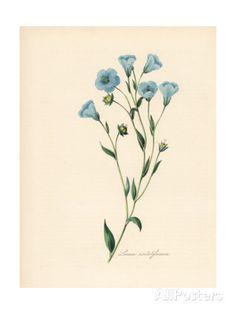 Common Flax or Linseed, Linum Usitatissimum by M.A. Burnett - vintage illustration, blue flowers