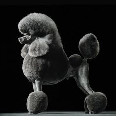 Poodle portrait - Tim Flach Beautiful black and white photo Poodle Grooming, Pet Grooming, French Poodles, Standard Poodles, Poodle Cuts, Dog Haircuts, Black And White Dog, Purebred Dogs, Dog Show