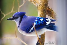 Bluejay (my own photo)