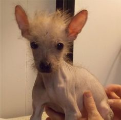 Alex tiny Hairless Chinese Crested baby.  Littermate to Neil.  Zelda is their mom who was confiscated in a puppy mill bust in Ohio from Pedigree Pets
