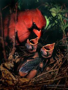 Artiste: Jim Brandenburg, Nid d'un Cardinal et ses bébés Kinds Of Birds, All Birds, Love Birds, Most Beautiful Birds, Pretty Birds, Baby Animals, Cute Animals, State Birds, Cardinal Birds