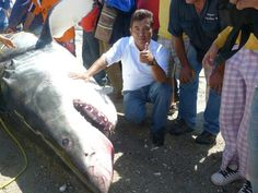 Gigantic Great White Shark: 2,000 pound Shark Caught in Mexico's Sea of Cortez (Photo)