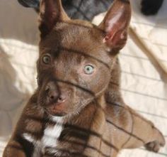 Rosalie is an adoptable Shepherd Dog in Charlotte, NC. Rosalie is an 8 week old shepherd mix puppy. She is very sweet and playful. All puppy shots, rabies vaccine, bordatella vaccine, micro-chip, dewo...