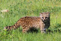 Kodkod (Leopardus Guigna). This creature really looks like a cat.