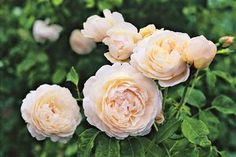 David Austin English rose Windermere Pot - Dawsons Garden World