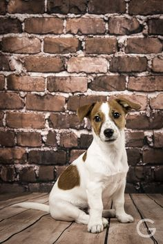 Cute jack russel terrier with the name Martin