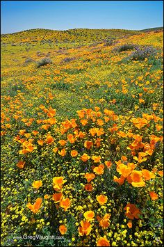 Antelope Valley Poppies and Goldfields,California