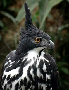 The Blyth's Hawk-Eagle is a medium-sized bird of prey. Like all eagles, it is in the family Accipitridae. It breeds in Peninsula Malaysia, Singapore, Sumatra, Borneo. It is a bird of open woodland, although island forms prefer a higher tree density.