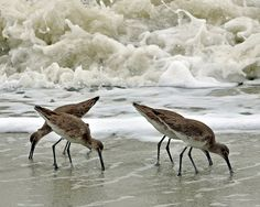 Shore Birds (Sandpipers eating mole crabs a.k.a. sandfiddlers).