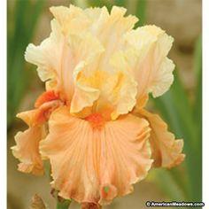 Orange Bearded Iris Rare Find, Iris germanica, Bearded Iris or German Iris