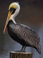 Louisiana state bird, the pelican, and its long bill stand proud on a pylon in South Mississippi   Bourgeois Photography