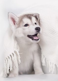 Pictures Of Huskies - An Amazing Gallery of Siberian And Alaskan Dogs And Pups 15 Cute & Small Teddy Bear Dog Breeds – These Pups Look Like Cuddly Toys!