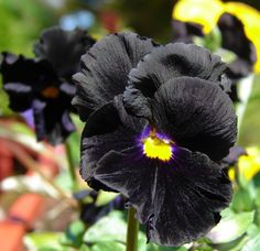 Black Pansy Clear Crystal Black Pansy Flower Garden by CheapSeeds