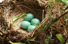 Only Nature can create such a gorgeous aqua color as these eggs.