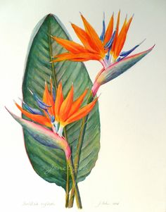 Bird of Paradise Botanical Painting Strelitzia Reginae This painting of Bird of Paradise is a commission for clients who live in Thailand. I wish I could grow this plant in my garden, but unfo… Birds Of Paradise Plant, Birds Of Paradise Flower, Paradise Garden, Plant Painting, Plant Drawing, Watercolor Art Paintings, Watercolor Flowers, Oil Paintings, Art Painting Flowers