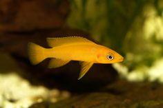 Photo about Lemon cichlid Neolamprologus leleupi yellow aquarium fish fish. Image of pseudotropheus, juvenile, aquarium - 106161966