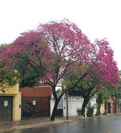 Lapacho en flor.Asunción-Paraguay