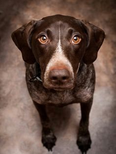 German Short-haired Pointer~