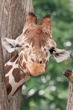 https://flic.kr/p/6xs4uA | Giraffe Wink | Hey sweetie, how about a wink!